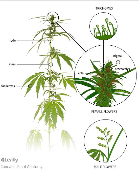 Cannabis plant anatomy diagram.