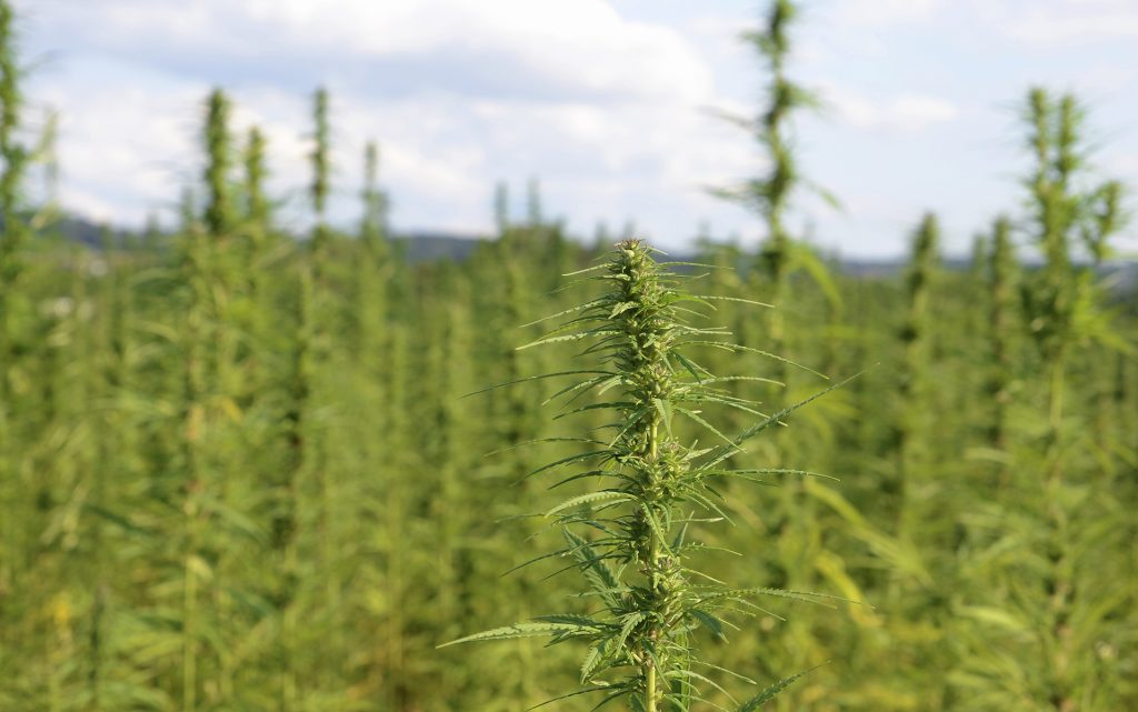 cannabis for industrial purposes