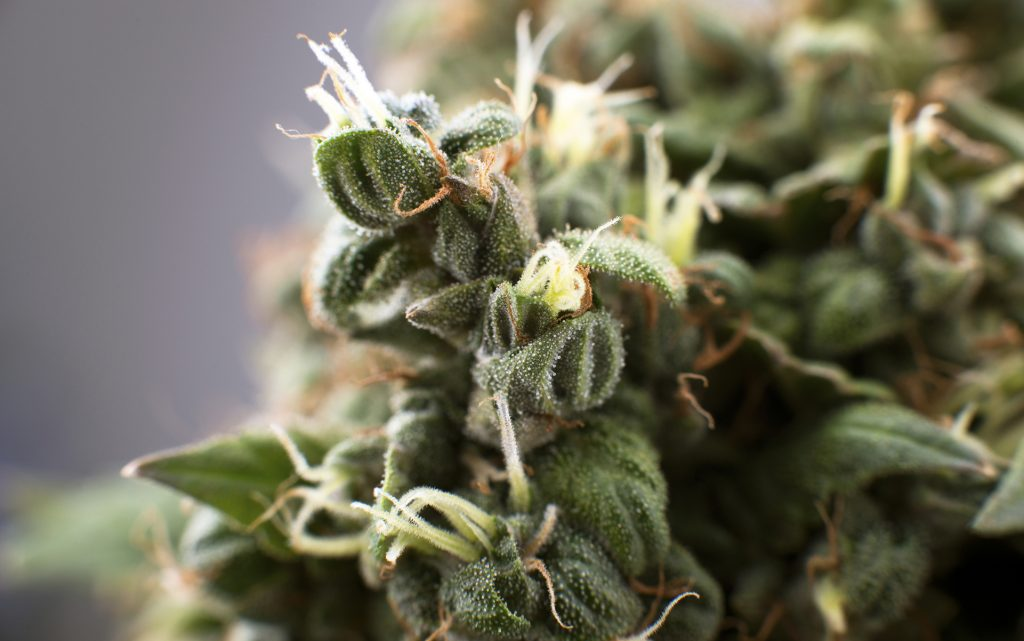 Visual cues for identifying old or bad cannabis
