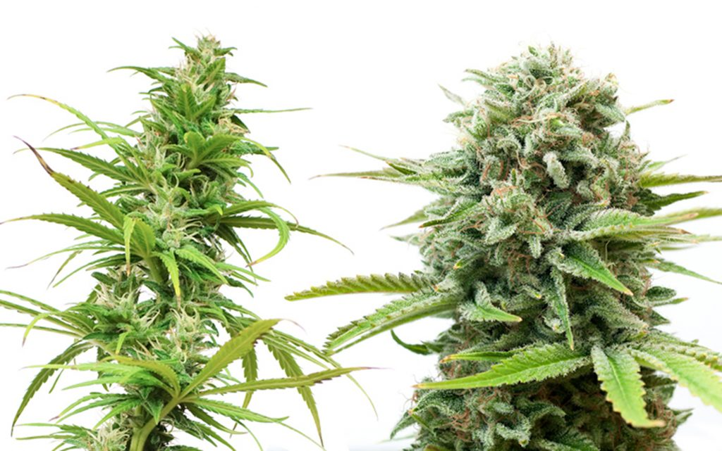 the-science-of-sativa-what-makes-them-different