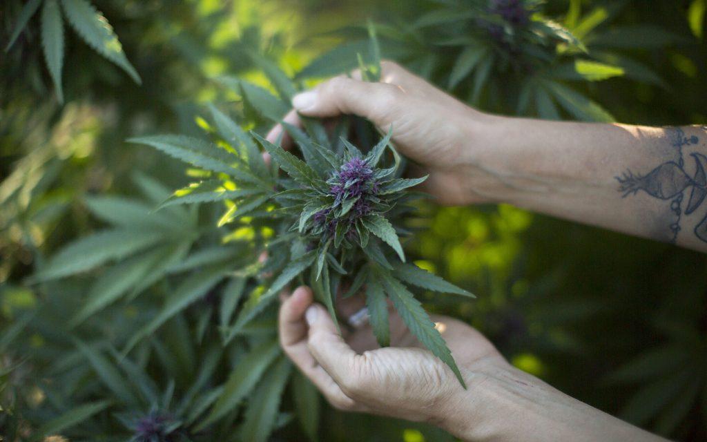 why-does-cannabis-produce-thc-4