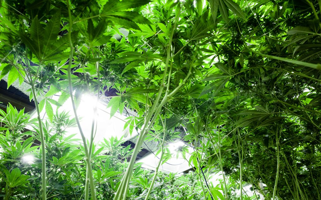 sustainable cannabis gardening tip: grow lights with lower energy output