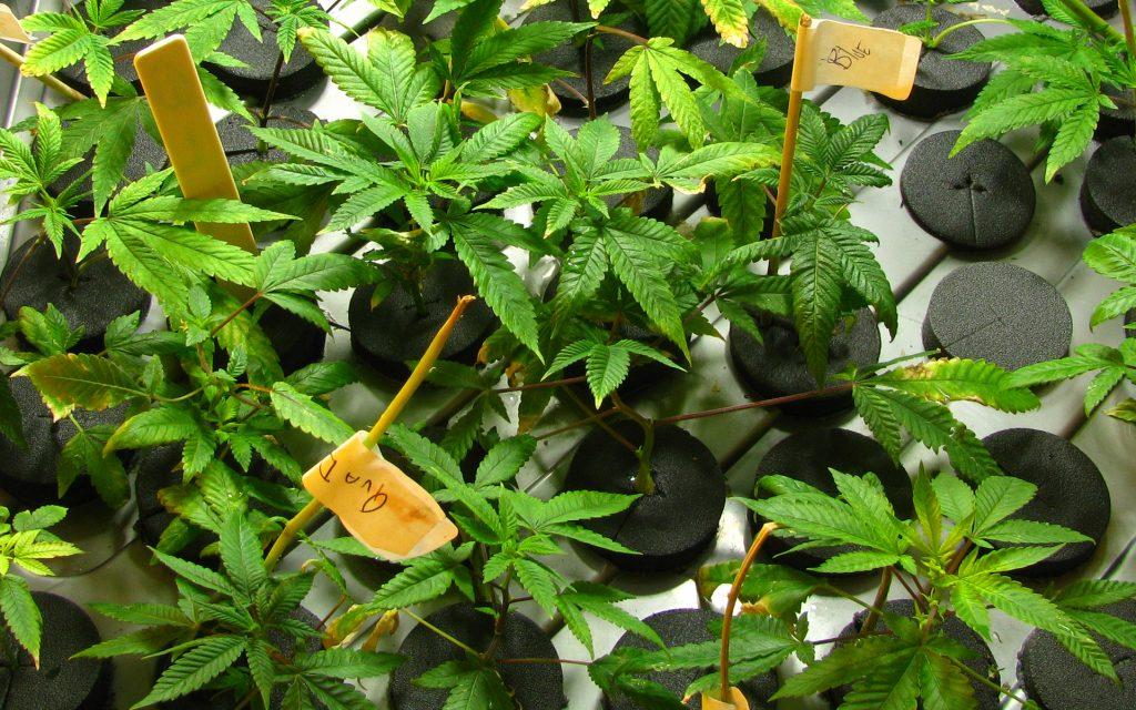 Marijuana plants in a cloning machine