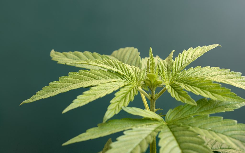 veganic gardening for growing cannabis plants