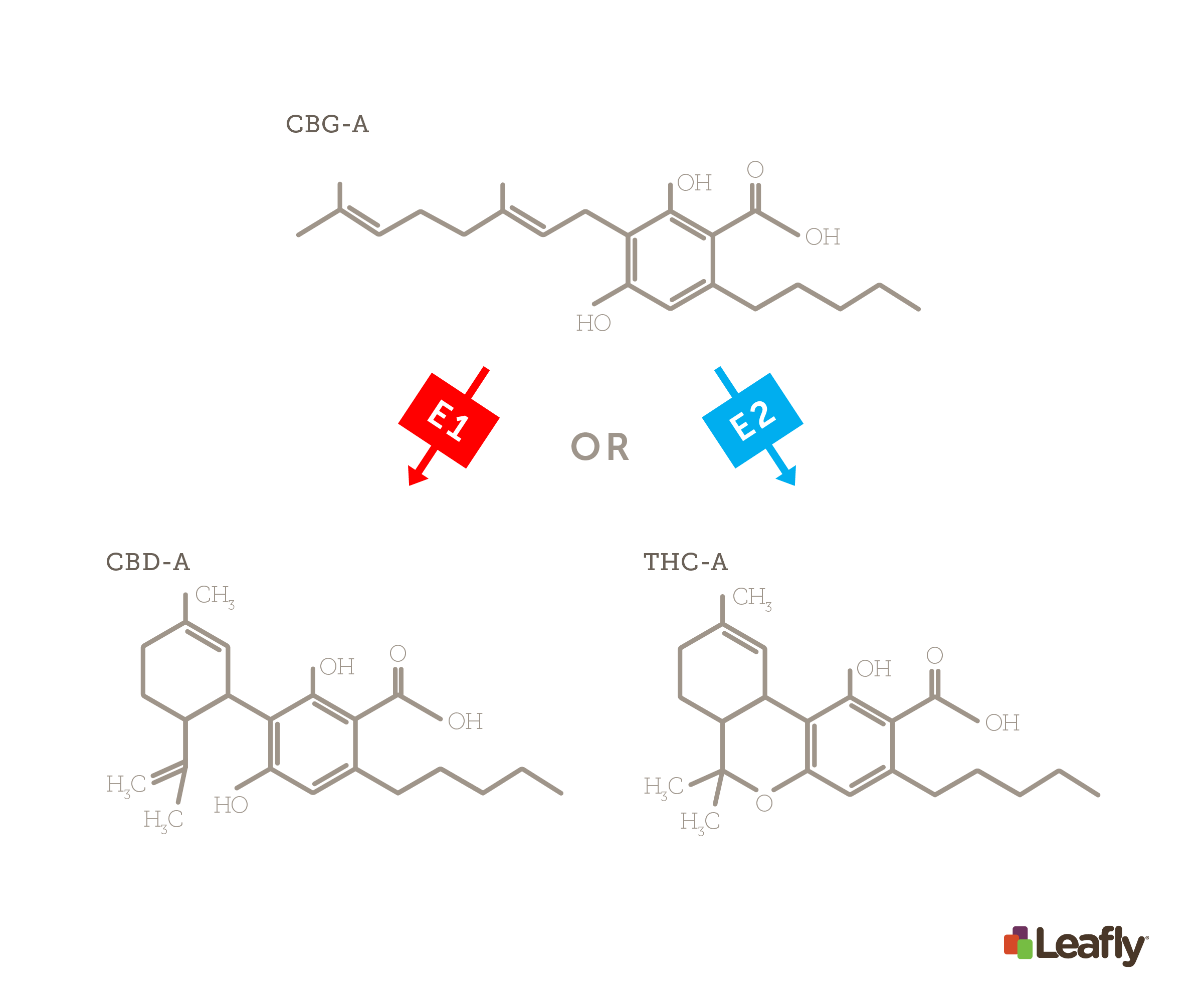 Chemical structures of CBGA going to CBDA or THCA