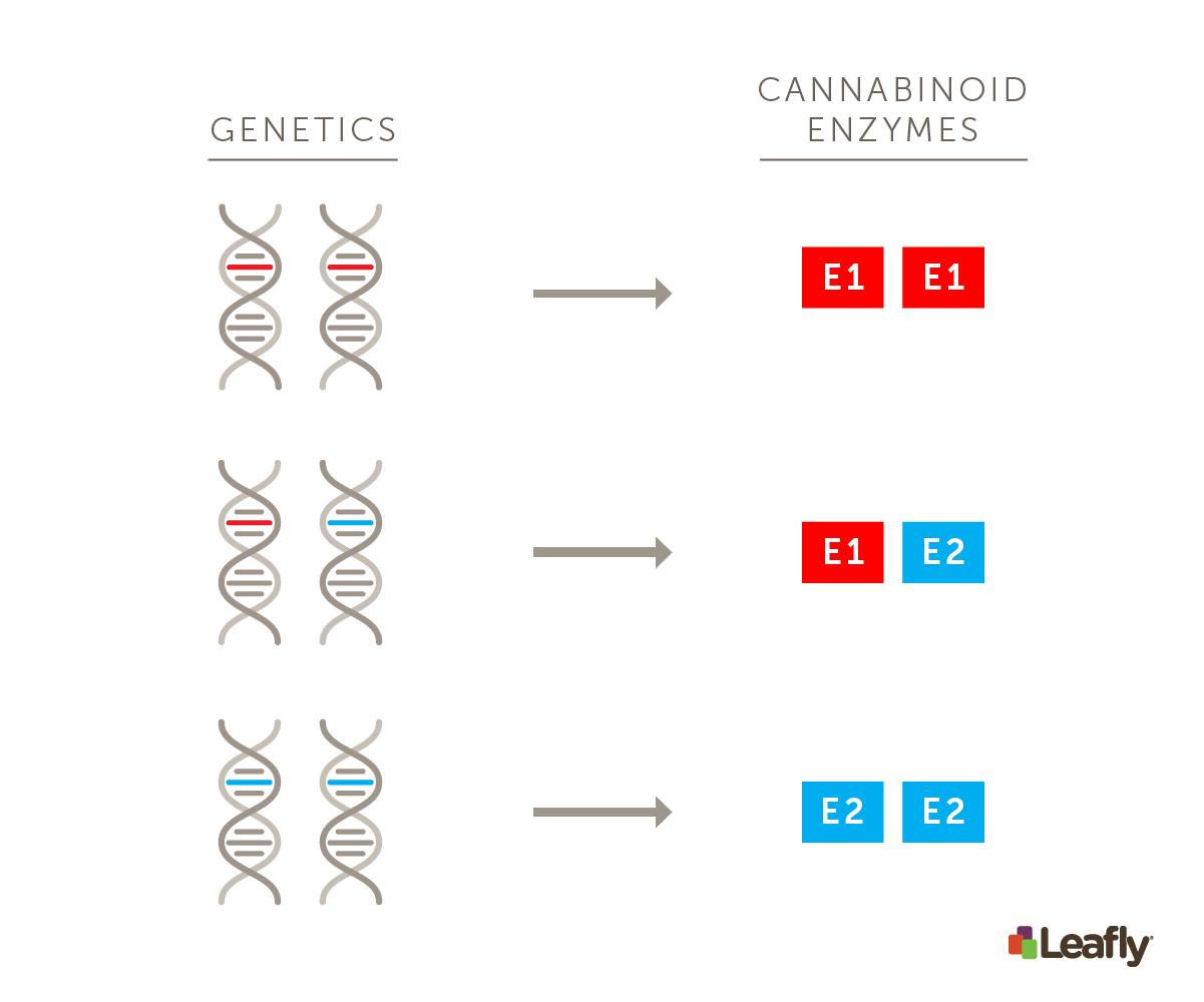 Genetics + cannabinoid enzymes graphic