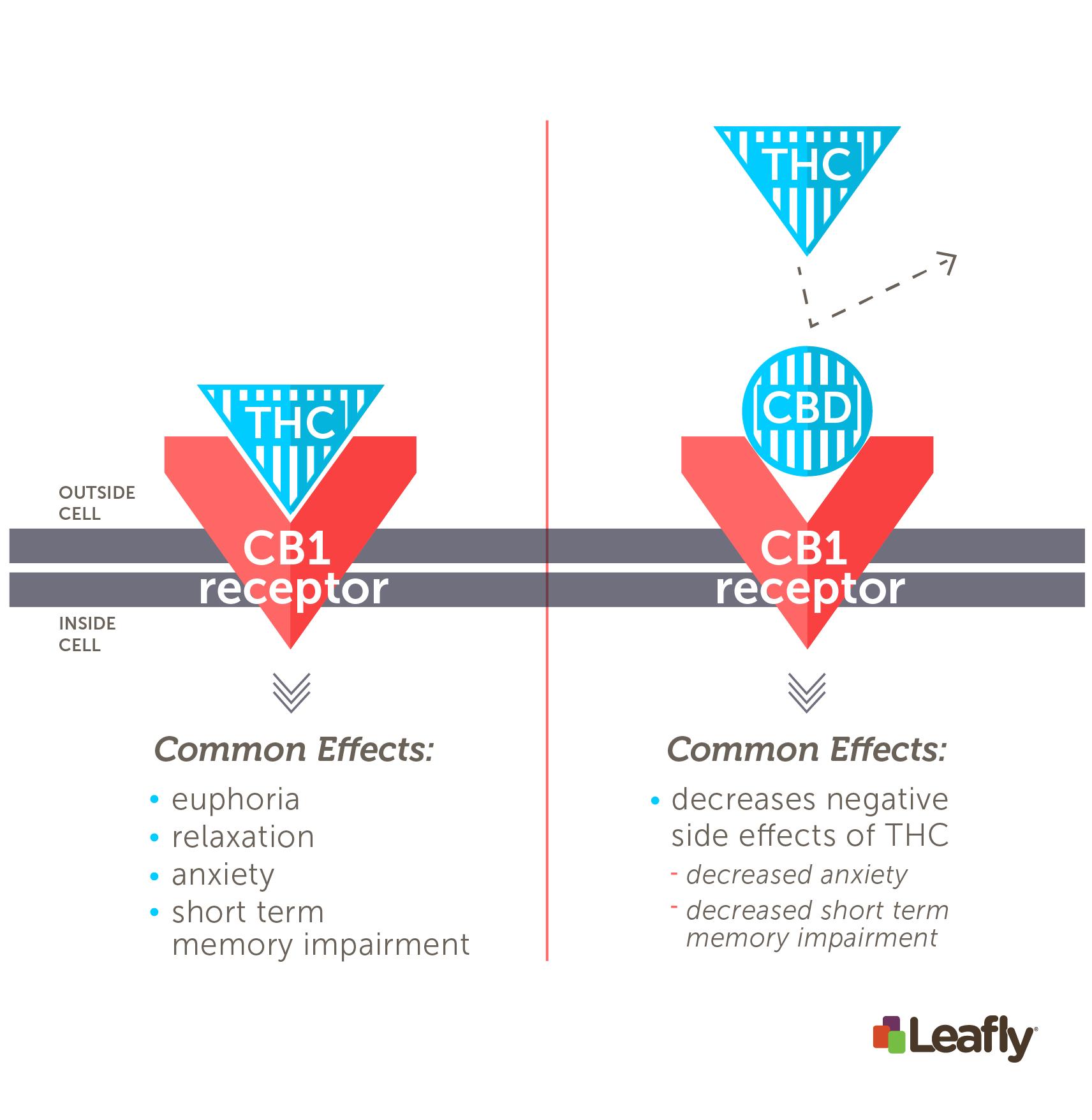 THC vs. CBD at the CB1 receptor