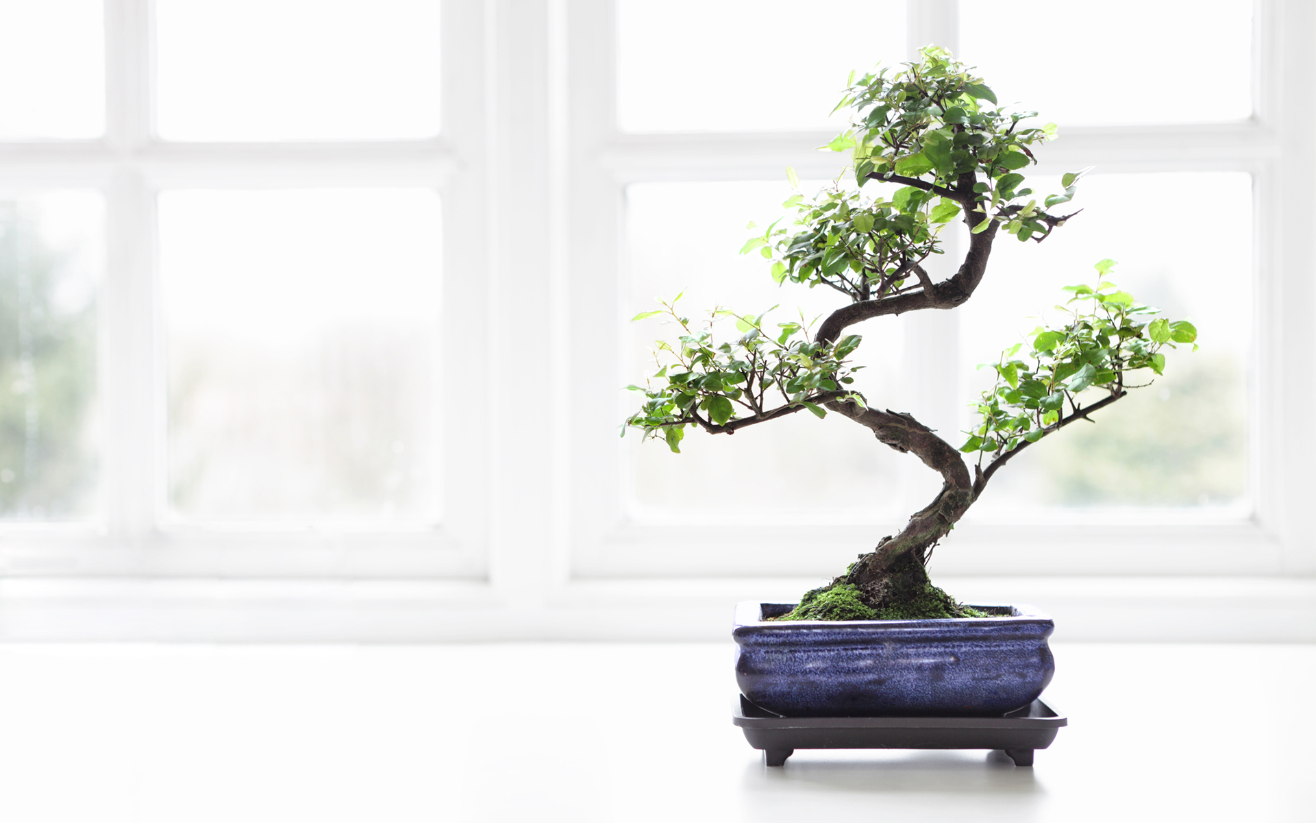 Growing Cannabis Bonsai Trees Separating Fact From Fiction Leafly