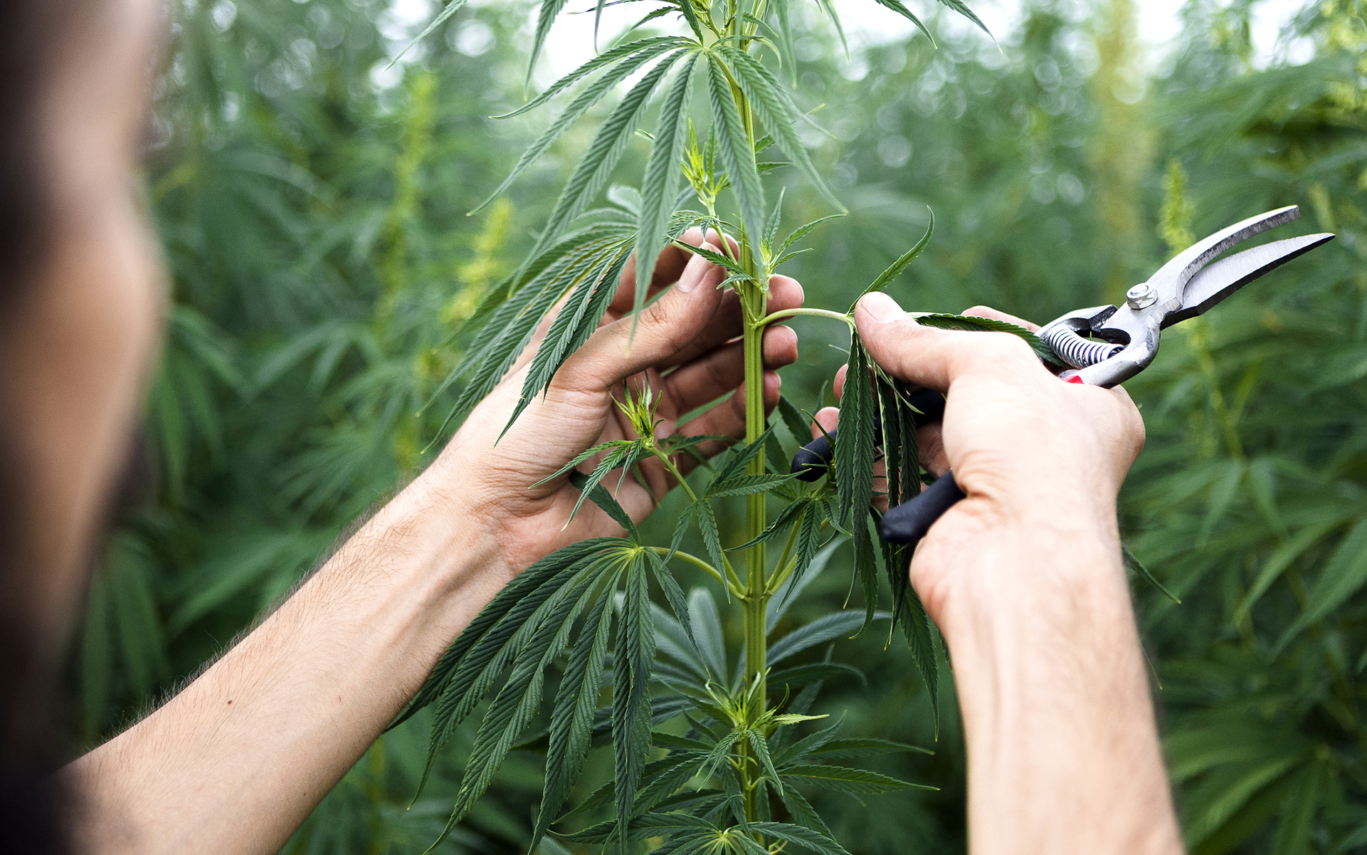 Tips For Growing Industrial Hemp Leafly
