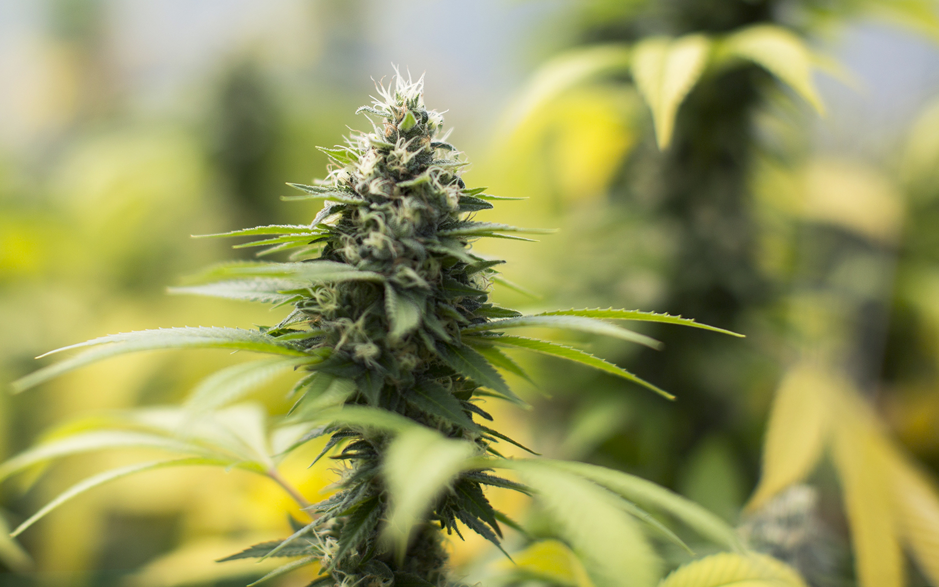 7 Cannabis Strains That Changed The Game Leafly