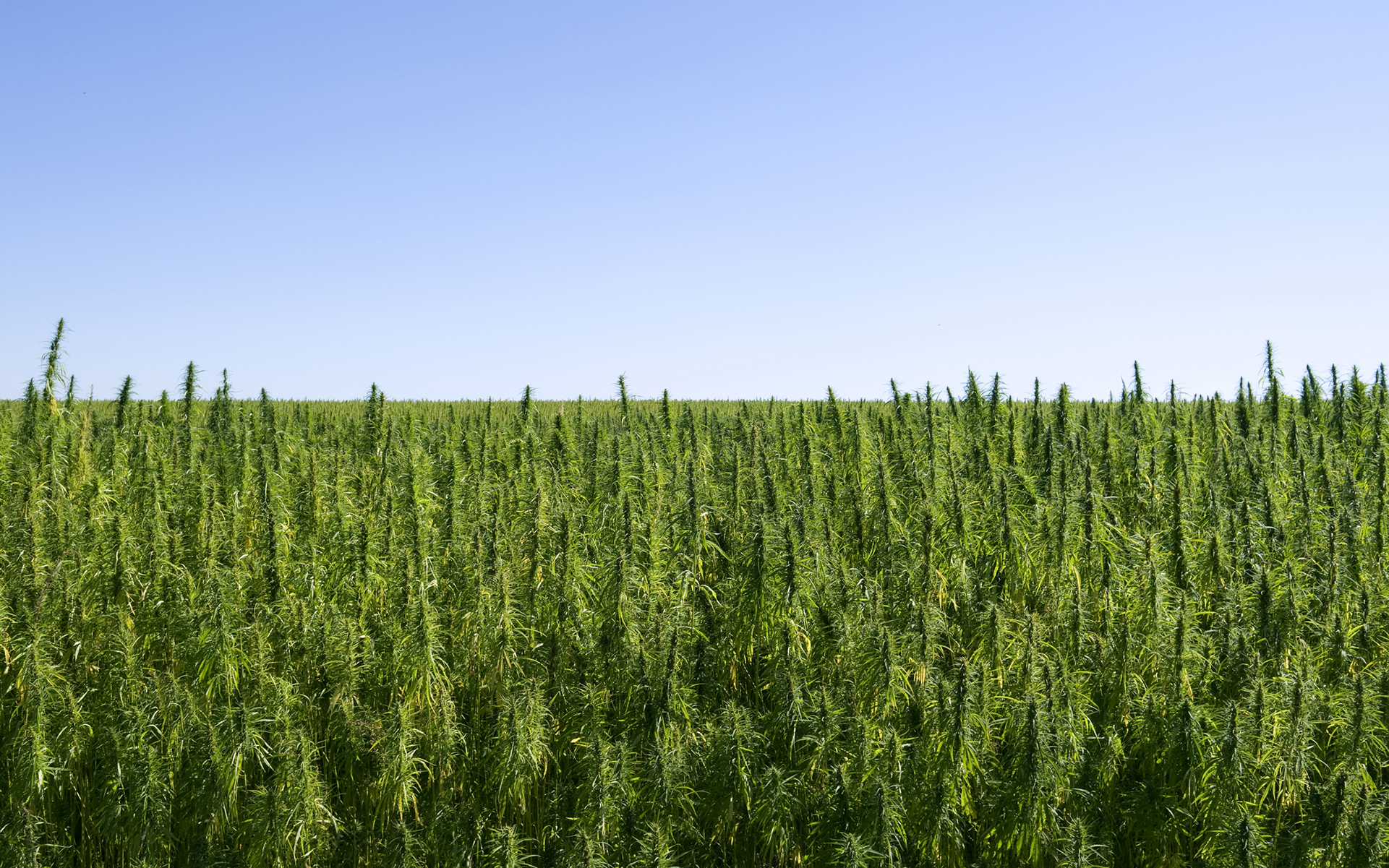 a field of non-psychoactive hemp plants