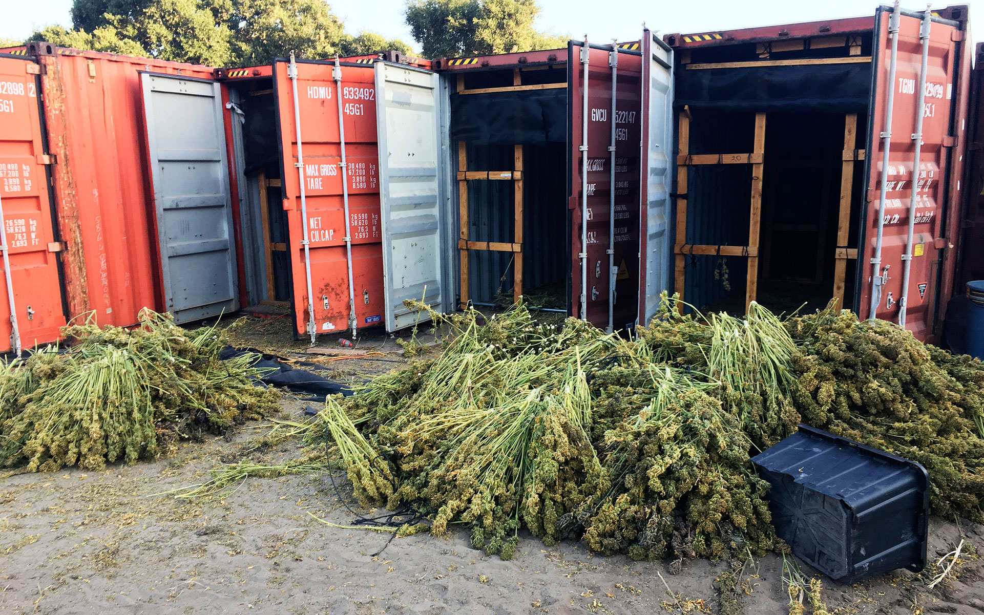 In this Tuesday, June 18, 2019, photo released by the Santa Barbara County Sheriff seized 20 tons of illegal cannabis in a four-day raid following a two-month investigation. The Santa Barbara County Sheriff's Office also destroyed 350,000 cannabis plants from the illegal grow outside Buellton, CA a city about 140 miles northwest of Los Angeles. (Santa Barbara County Sheriff via AP)