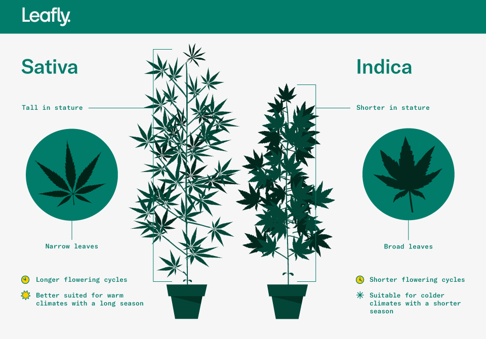Sativa Vs Indica Illustration 1