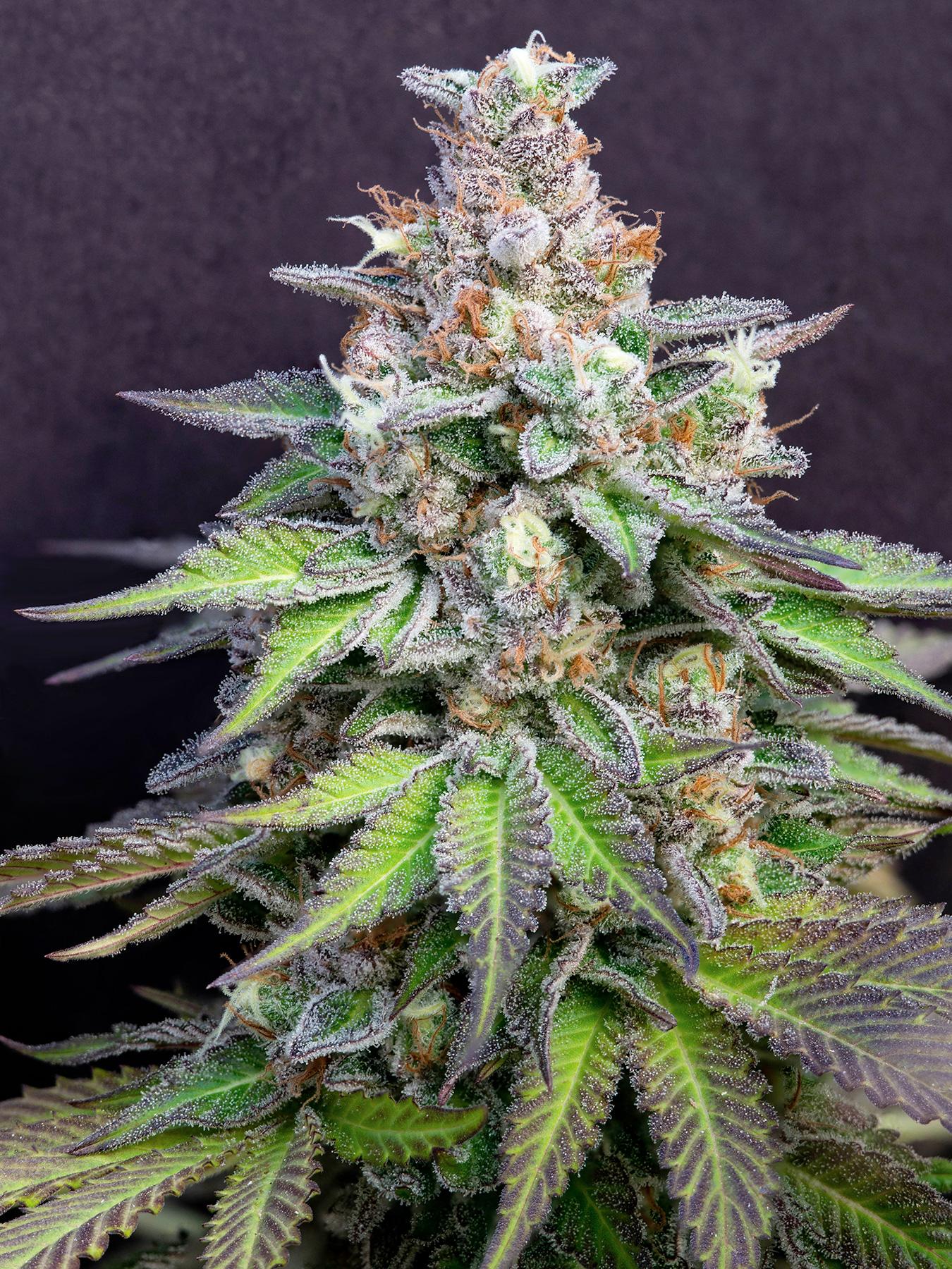 Leafly's favorite flower, leafly faves, Do Si Lato strain, cannabis flower, marijuana