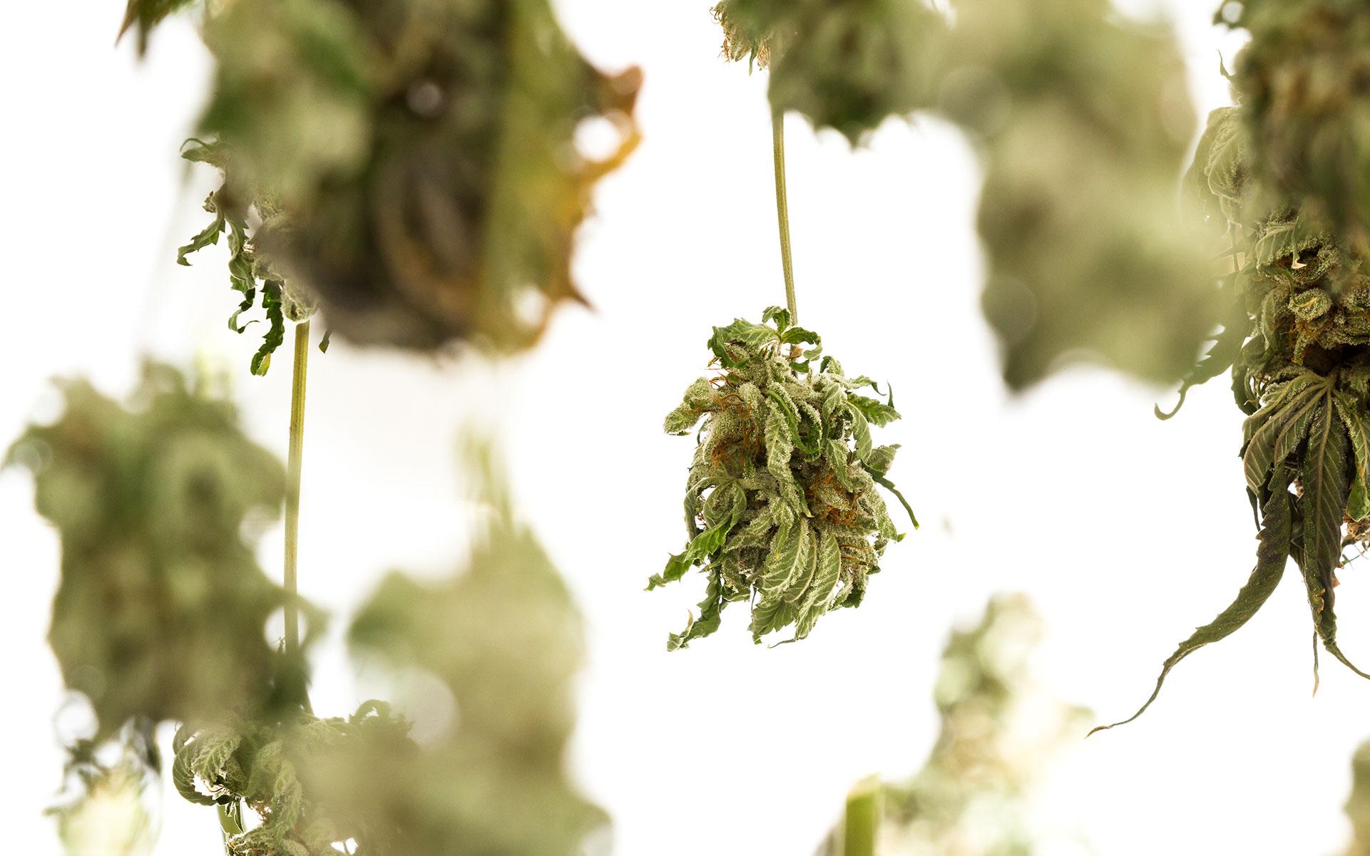curing and drying marijuana, growing cannabis