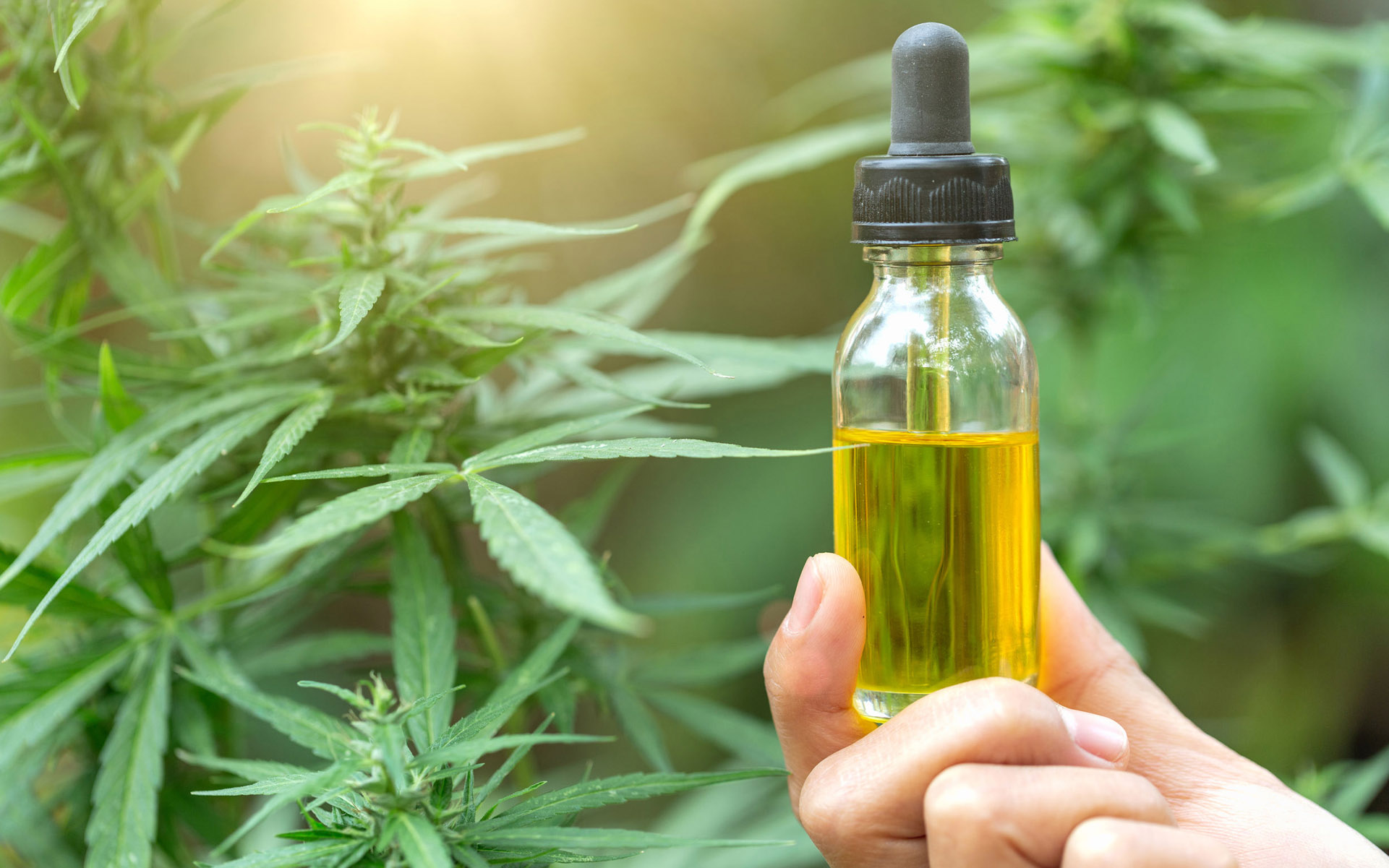 Hand holding a CBD tincture bottle in front of cannabis plants