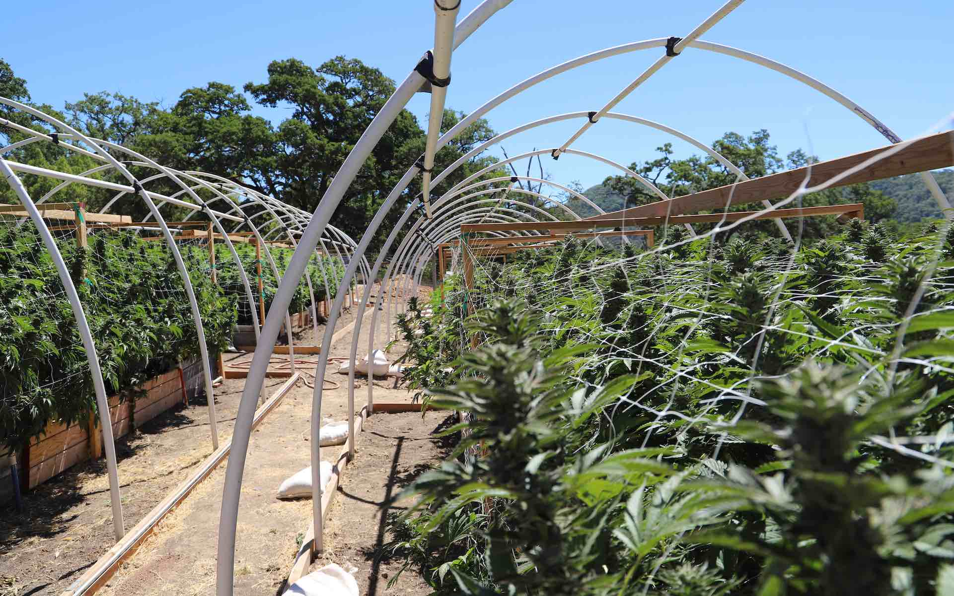 How to maximize your harvest by growing light deprivation cannabis