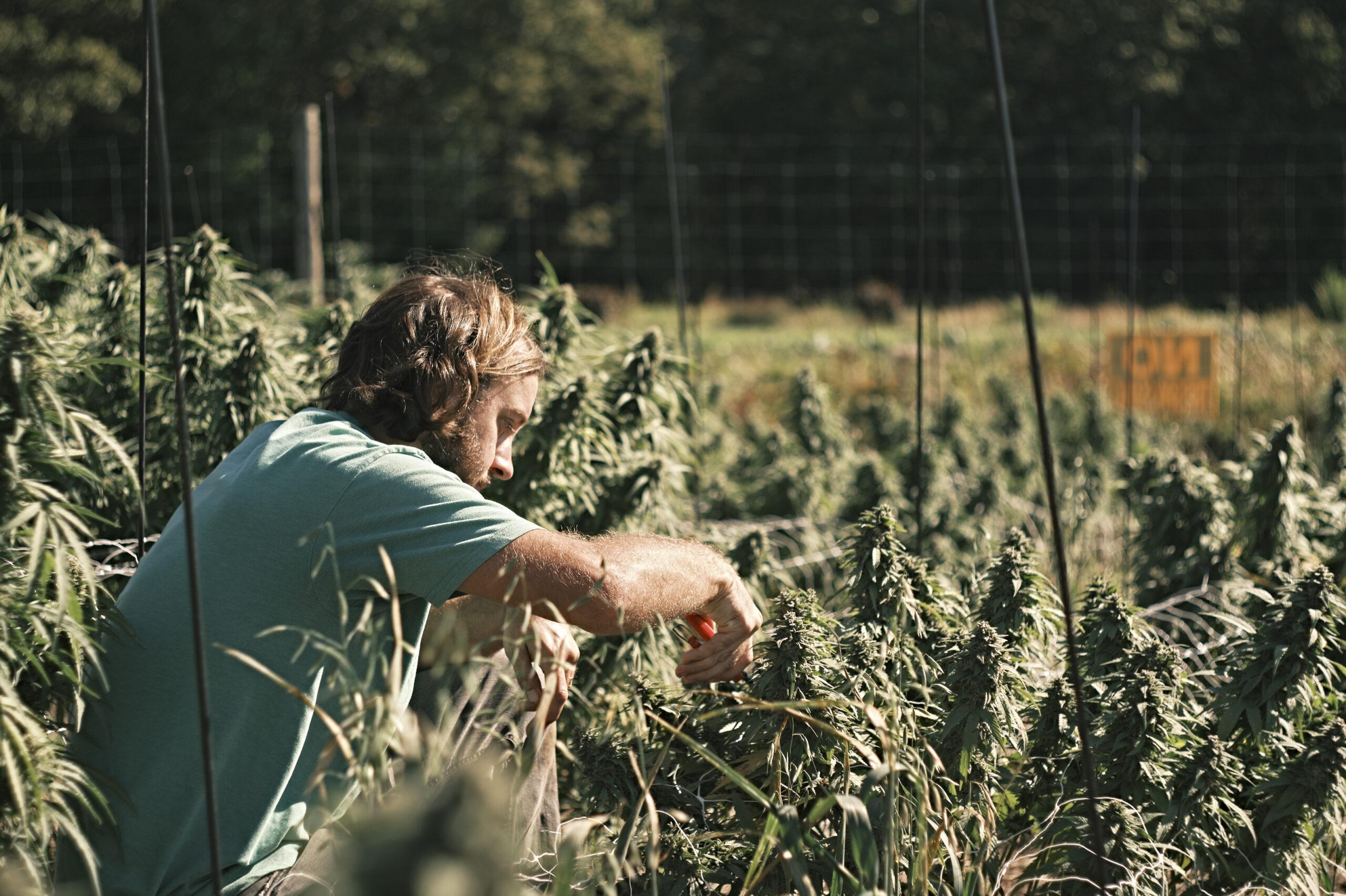 Photo Essay: Cannabis harvest season in the Maritimes